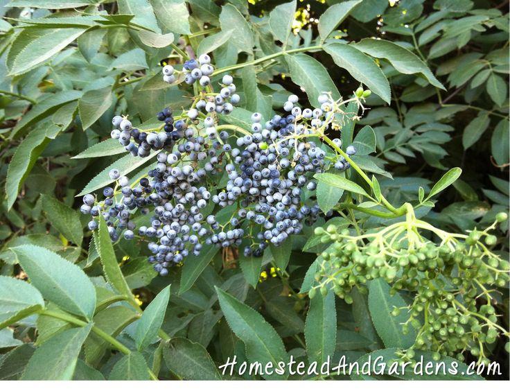 elderberries ripe and unripe