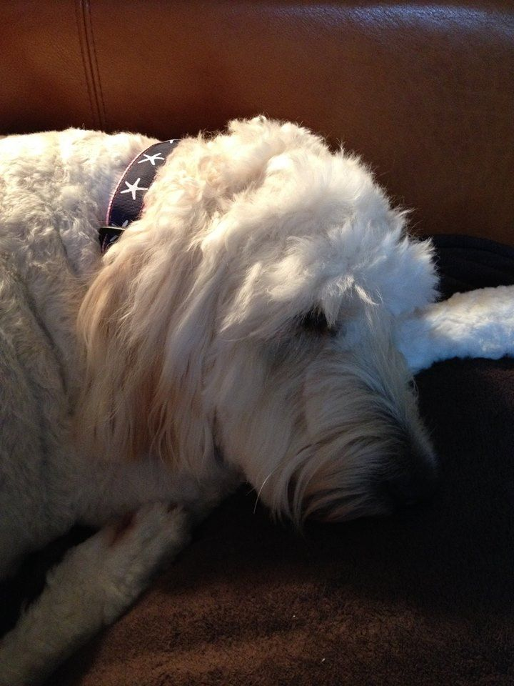 Maggie is wiped out ! From her grooming and spa day! Spa