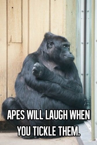 Apes will laugh when you tickle them..