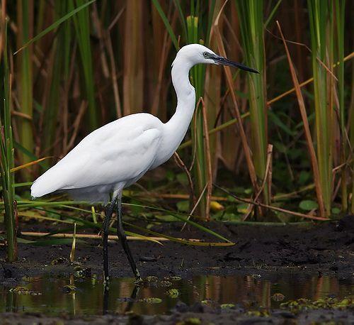 Little egret - Egreta mica (Egretta garzetta) - in Danube Delta.