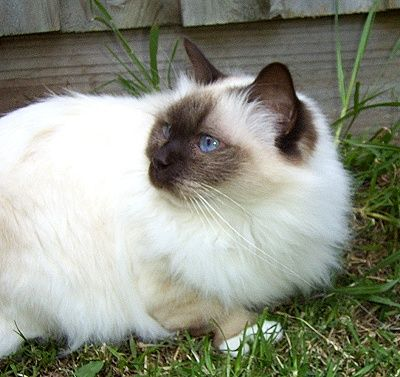 Long Hair Cat Breeds | Birman Cat Breed Profile - Breed Information with Description & Photos