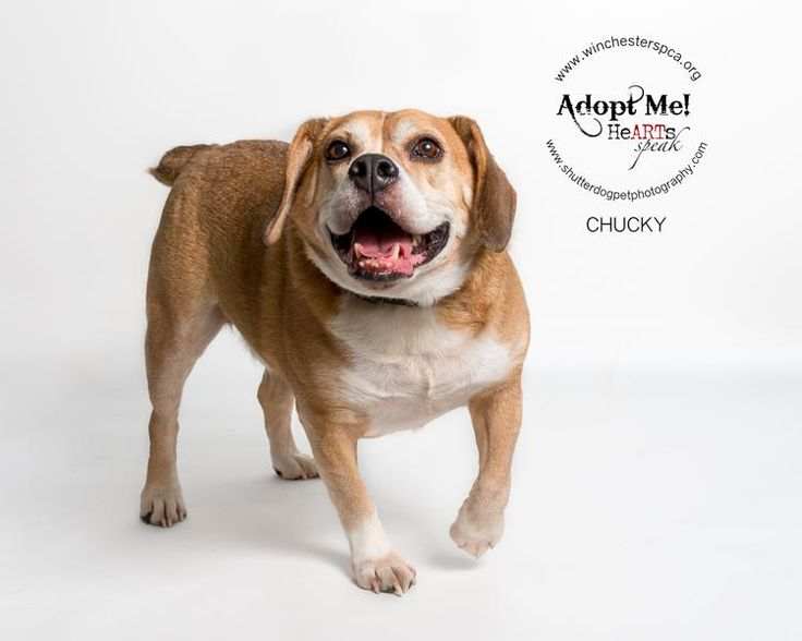 Meet Chucky, an adoptable English Bulldog looking for a forever home. If you're looking for a new pet to adopt or want information on how to get involved with adoptable pets, Petfinder.com is a great resource.