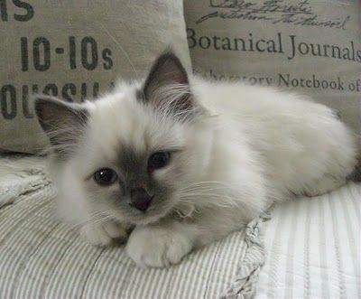 Birman Cat (I have a Japanese Bobtail crossed with a Birman and it looked exactly like this when she was little!)