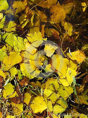 Leaves under clear water, autumn lake background.