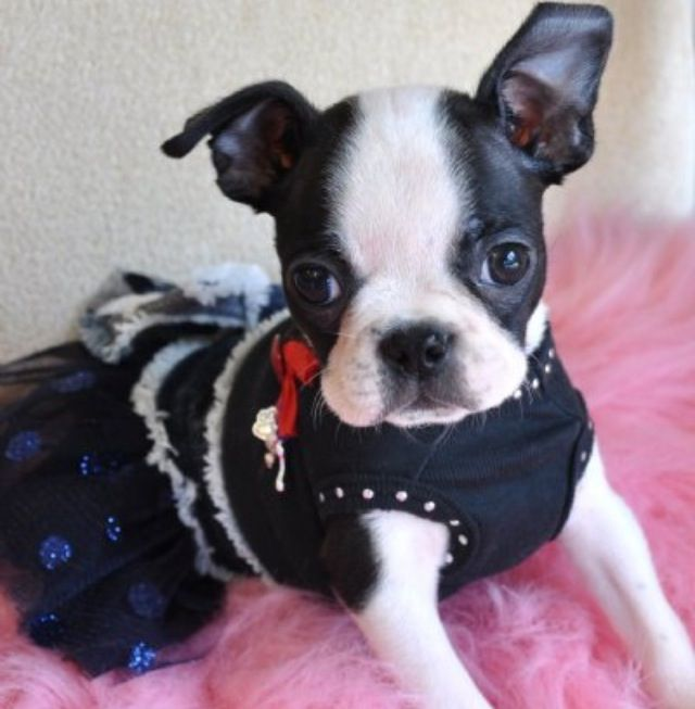 Teacup Boston terrier
