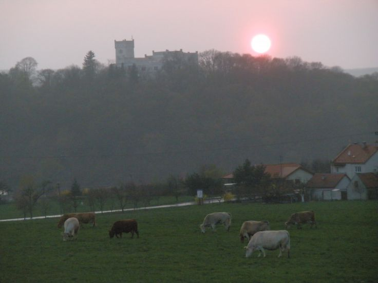 krávy-v pozadí zámek Nový Světlov Bojkovice