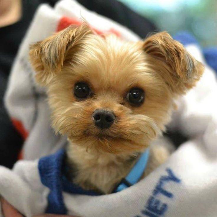 Yorkiepoo - Yorkie Poo puppy for sale near Massachusetts