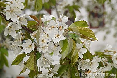 Cherry flowers, spring white flowers