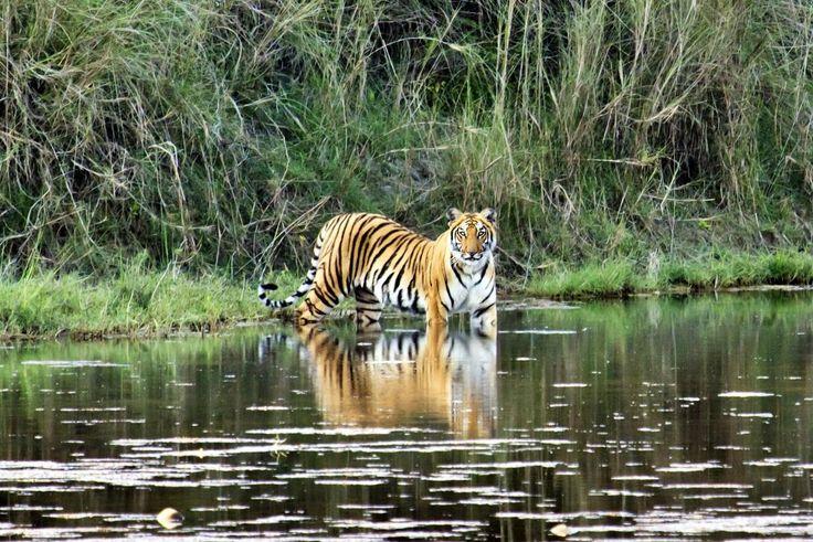 Тигр в Джунглях Читвана
