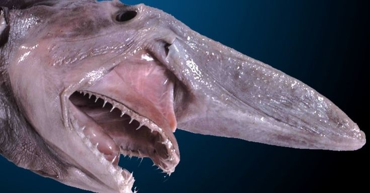 Já pensou estar mergulhando no fundo do oceano e dar de cara com uma criatura como esta? Este é um tubarão-duende. Aterrorizante, não?