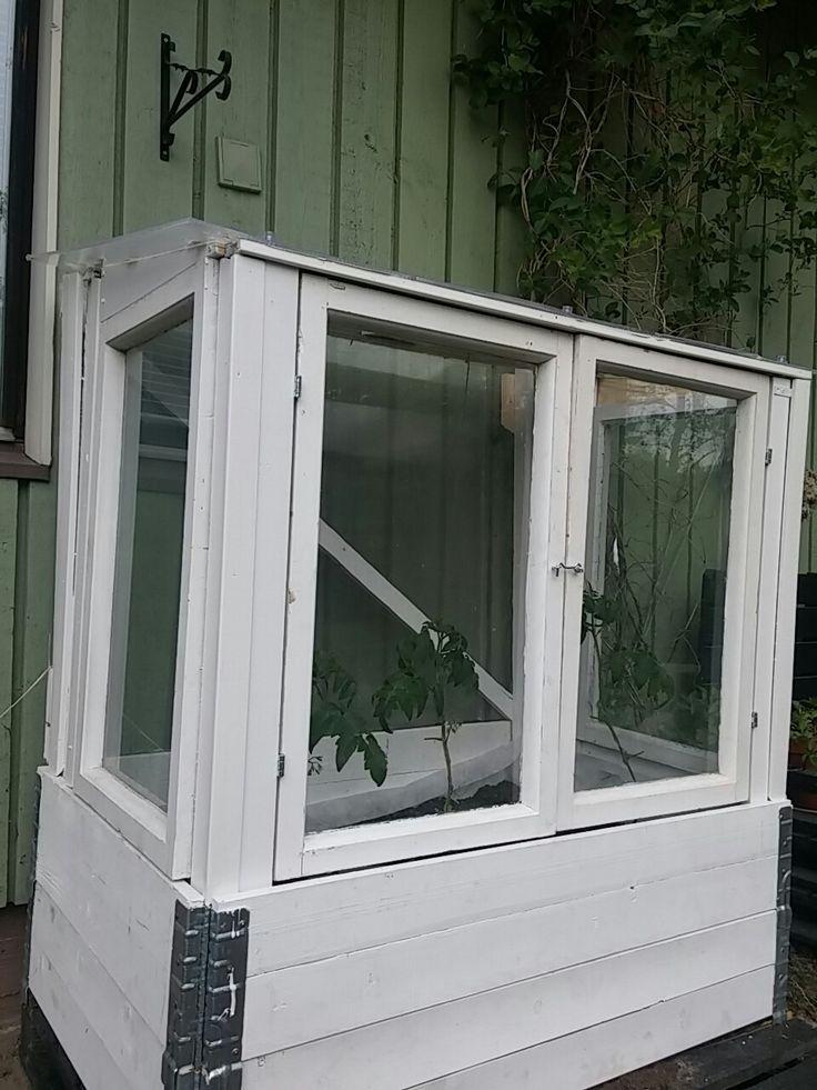 Vanhat ikkunat yhdistettynä vanhoihin lavankauluksiin. Ensimmäiset tomaatit jo alullaan.