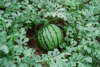 How to Make Watermelon Plants Grow Faster and With Big Fruits | eHow