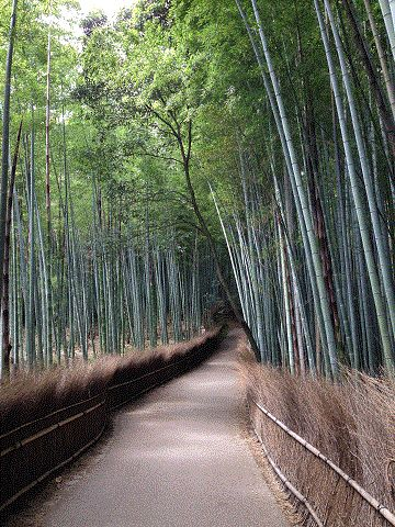 Road of bamboo forest 嵯峨野竹林歩道