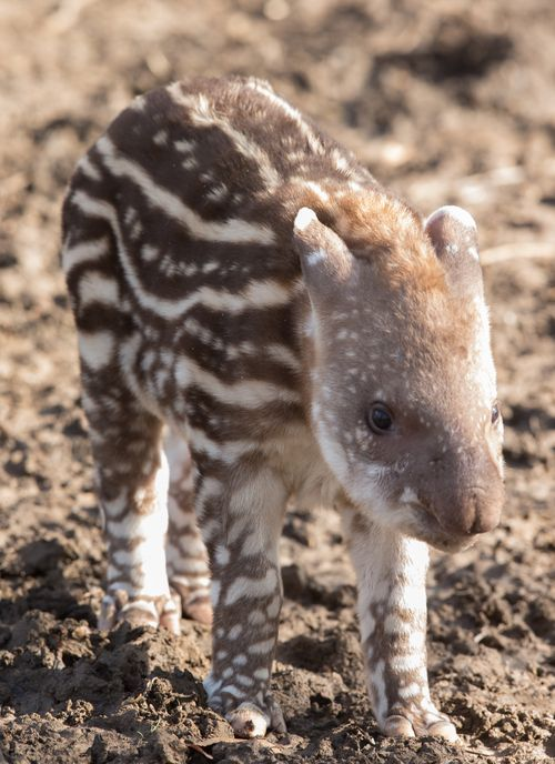 New baby Tapir at Howletts Wild Animal Park