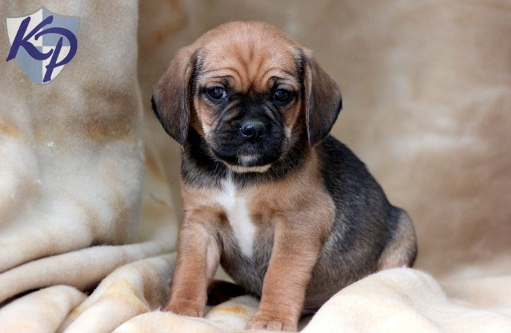 Pudge – Puggle Puppies for Sale in PA | Keystone Puppies