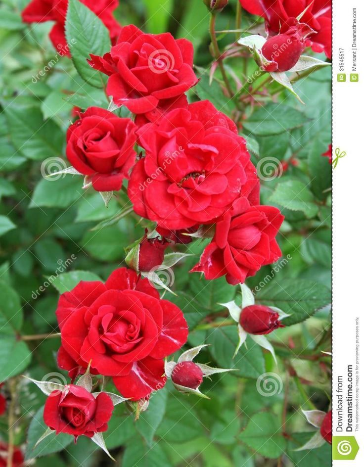 Some beautiful red roses in a garden