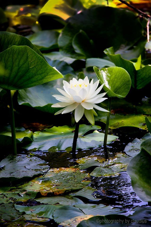 """ Water Lilies ~"