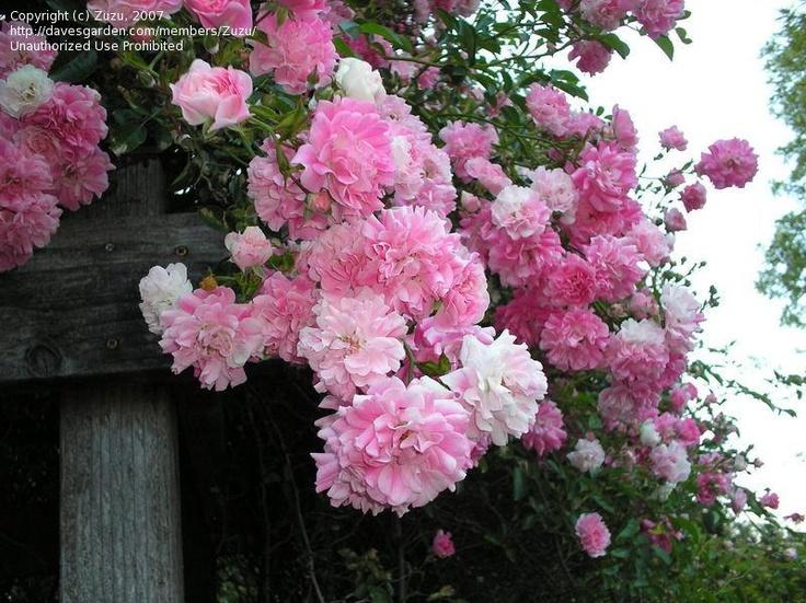 super dorothy perkins climbing rose garden pinterest. Black Bedroom Furniture Sets. Home Design Ideas
