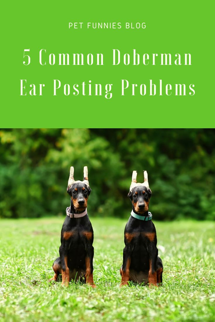 Planning To Post Your Doberman S Ears Make Sure Everything Goes