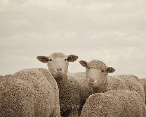 Valentine Photography  Smiling Sheep Taken on by DreamyPhoto, $25.00