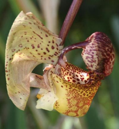 160 Best Images About Coryanthes On Pinterest Orchid