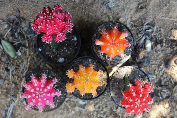 5 Vibrant Glow Cactus for sale (Grafted Cactus) in their 2.5inch round plastic pots Perfect for sprucing up your house or for a gift by SayIDoSucculents on Etsy #colorfulcactus #fiestaparty #desert #boho