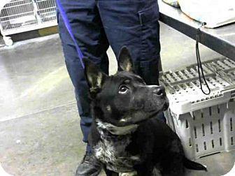 Mesa, AZ - Australian Cattle Dog/Shar Pei Mix. Meet HOWIE, a dog for adoption. http://www.adoptapet.com/pet/18279141-mesa-arizona-australian-cattle-dog-mix