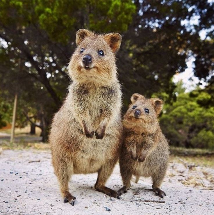 The quokka, otherwise known as the happiest animal in the world, is native to small islands off the coast of Western Australia. The pair of the cuddly critters is captured here by Elisa Detrez