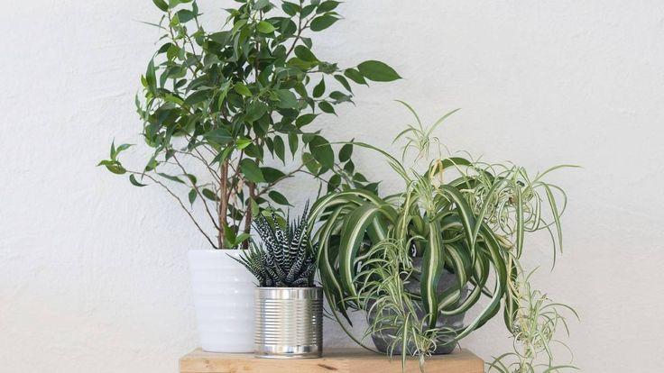 Les 107 meilleures images du tableau plantes d polluantes for Plante whisky