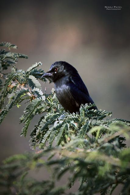Nirajphotographer: Bird : Black Drongo