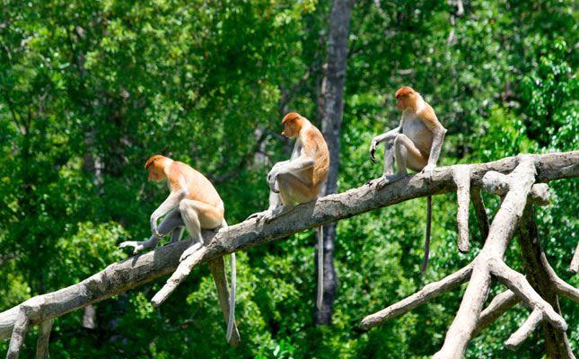 The distinctive Proboscis monkeys on Borneo