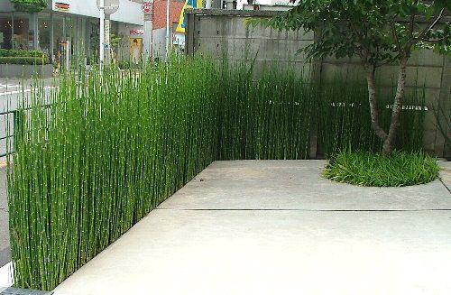 cavalinha-equisetum-giganteum