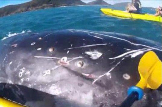 В Австралии горбатый кит обратился к людям за помощью (ВИДЕО)