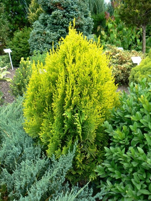 Durable Plants For The Garden: Dwarf Golden Arborvitae (Platycladus Orientalis 'Aurea