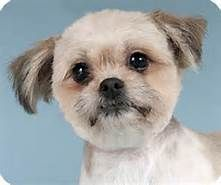 Small Dogs Adoption Chicago - Bing images