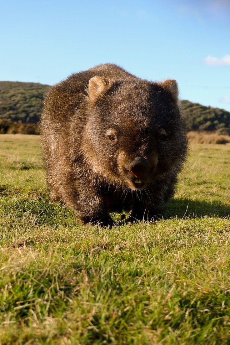 Wombat! Fact: Dante Gabriel Rossetti had a pet wombat.