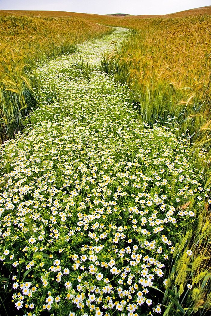 .: Sunday Brunch, White Daisies, The Roads, White Flowers, Fields Of Flowers, Gardens Paths, Alice In Wonderland, Herbs Gardens, Yellow Brick Roads