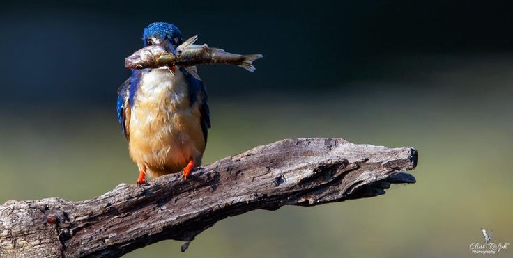 Fish on the Wing (Half-Collared Kingfisher), Loskop Dam, South Africa.