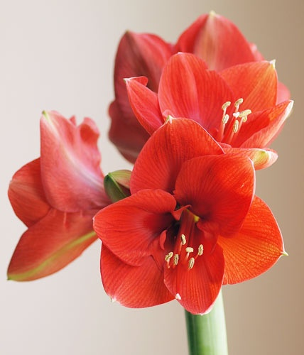 50 best amaryllis images on pinterest beautiful flowers pretty flowers and gardening. Black Bedroom Furniture Sets. Home Design Ideas