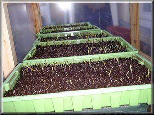 semis tomates anciennes. Explications très claires