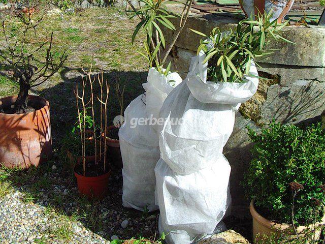 Conseils pour protéger du froid le laurier rose : protection hivernale, hivernage à l'abri...