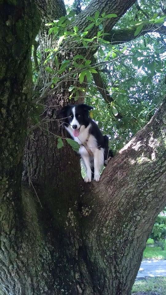 A Border Collie in a tree...