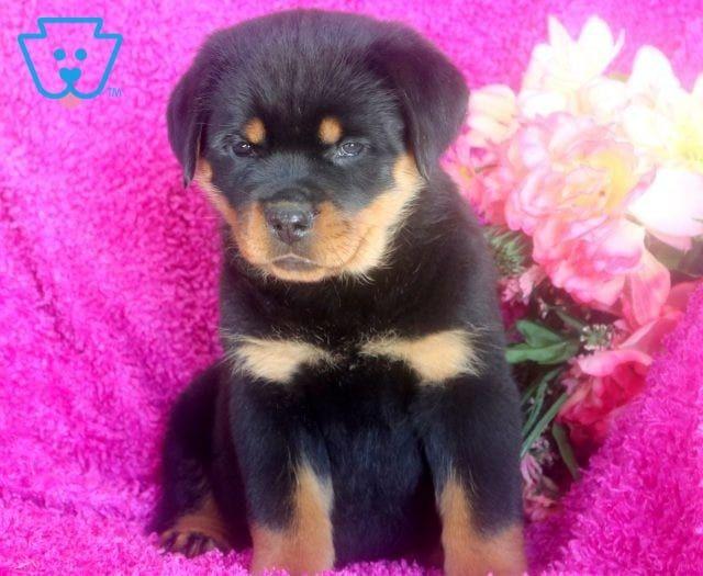 Sweetheart Rottweiler Puppies For Sale Rottweiler Puppies Popular Dog Breeds