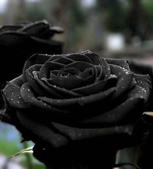 Black rose of Halfeti. The only black rose that is not dyed or photoshopped. The town of Halfeti, Turkey was submerged in 1999 and relocated after a dam was built. The black roses haven't thrived in the new location, and they are in danger of extinction. photo: viewfort2003.
