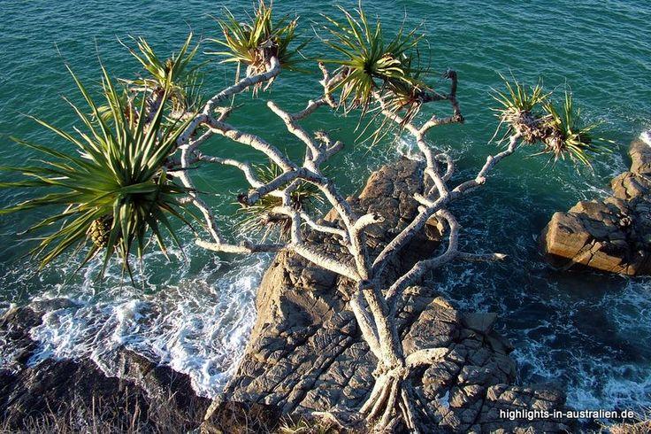 die besten 25 yucca palme ideen auf pinterest zwergdattelpalme yucca palme pflege und geige. Black Bedroom Furniture Sets. Home Design Ideas