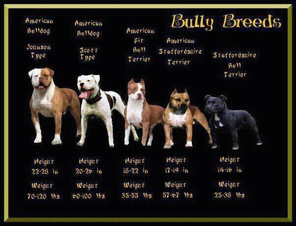 Bully Breeds, makes me wonder if Gauge is really just a red nosed pit, not an AmStaff..