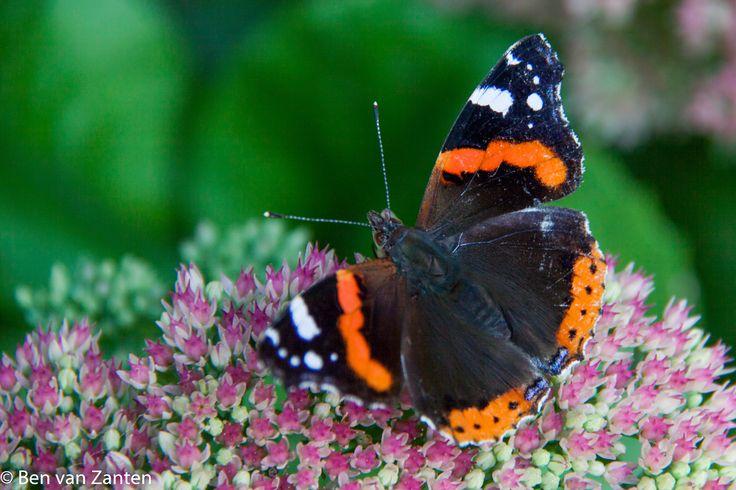 Vlinder Schoenlapper