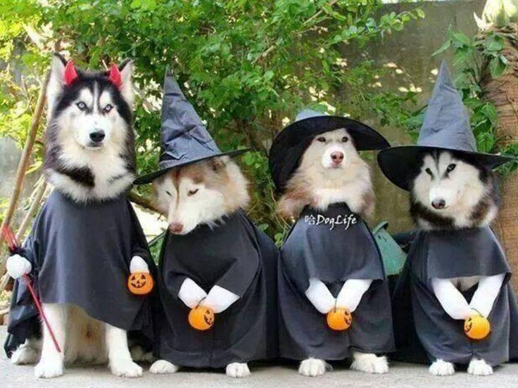 Halloween Huskies Husky Pinterest Halloween And Husky