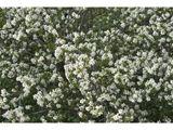 NPIN: Amelanchier alnifolia (Saskatoon serviceberry)
