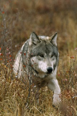A Roaming Alpha Male Gray Wolf Photographie